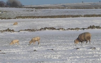 First lambs walking the snow in Chelmorton